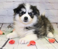 Adorable Pomsky puppies for sale