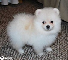 Charming Teacup Pomeranian puppies available for sale