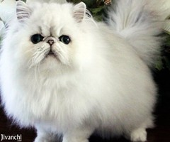 Adorable Persian Kittens available now